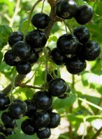Blackcurrant1