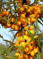 Облепиха (sea buckthorn)